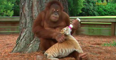 """Die traurige Wahrheit hinter dem """"süßen"""" Orang Utan mit dem Tigerbaby"""