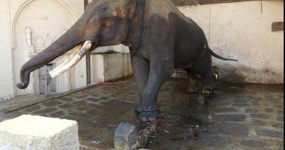 Über 40 Jahre wurde dieser Elefant in einem Steinraum angekettet