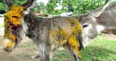 Diese Eselmutter weicht ihrem verletzten Kind nicht von der Seite