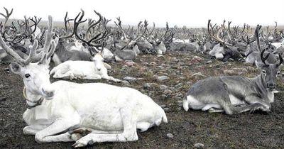 Russland plant die Tötung von 250.000 Rentieren