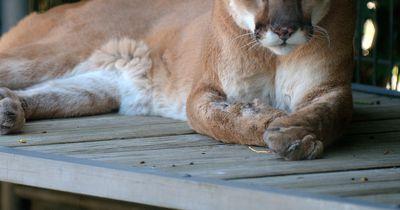 Ungewöhnliche Missbildung: Puma hat Zähne auf dem Kopf