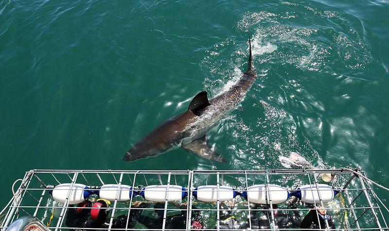 Zweiköpfige Haie