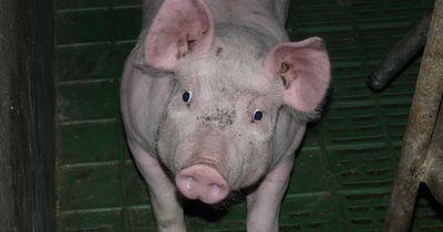 So eine Schweinerei: Fleisch-Industrie schadet Tieren und Verbrauchern