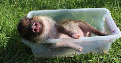 Auch Schweine können optimistisch sein