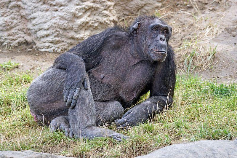 An diesem Körperteil erkennen sich Affen wieder