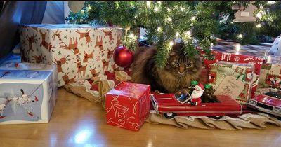 Diese Katzen können Weihnachten einfach nicht mehr erwarten