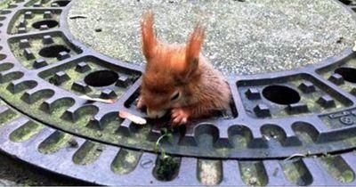In München blieb ein Eichhörnchen im Gullydeckel stecken