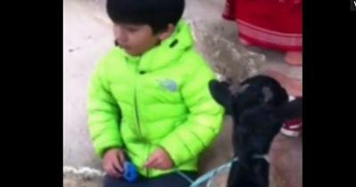 Das Kleinkind flippt völlig aus als es begreift, dass seine Ziege getötet werden soll