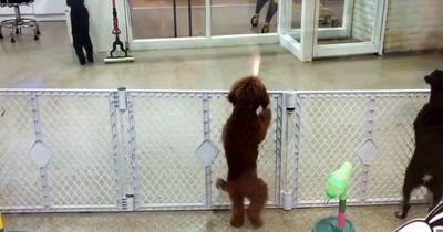 So reagiert dieser Hund, als er nach dem Tag beim Sitter sein Herrchen wieder sieht