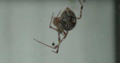 Das passiert, wenn Spinnen auf Spinnen treffen