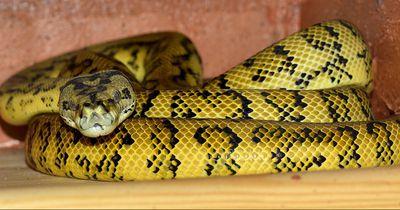 Eine Riesen-Python verschlingt problemlos ein Känguru