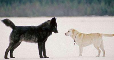Das passiert, als vor seinem Hund plötzlich ein wilder Wolf steht