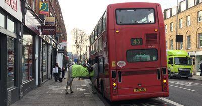 Ausgebüxtes Pferd will den Bus nach Hause nehmen