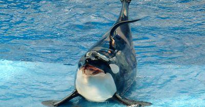 Deshalb ist der berühmteste Orca der Welt tot