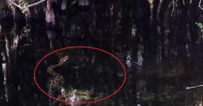 Riesen-Python gegen Alligator: Wer wird überleben?