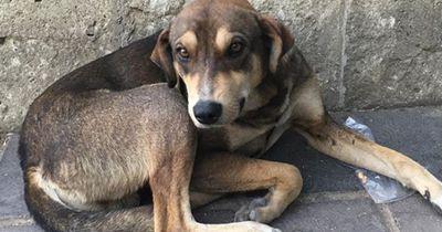 Ihr wollt einen Straßenhund aus dem Ausland adoptieren? Dann müsst ihr das beachten!