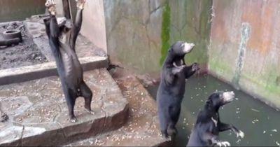 Diese Bären sind am Verhungern