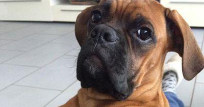 Wegen Überzüchtung sind diese Hunde besonders anfällig für folgende Krankheiten