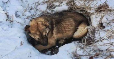 Dieser angefahrene Hund lag 12 Stunden im Schnee