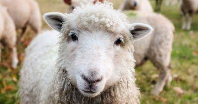 Hartz-IV-Empfänger ließ seine Schafe einfach verhungern