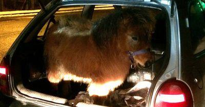 Heftige Diskussion über Pony im Kofferraum