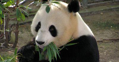 """Was hinter dem """"süßen"""" Panda-Video aus der Zuchtstation steckt"""