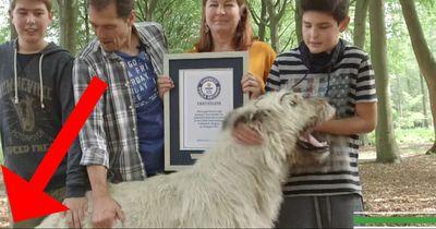 Dieser Hund hat den längsten Schwanz der Welt