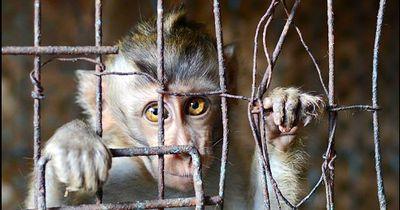 Vier Jahre musste dieser Affe in einem Käfig leben