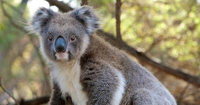 So hilft jemand Koalas zu überleben