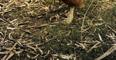 Das ist das größte Huhn, das du je gesehen hast: