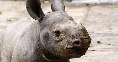 Deshalb schneiden jetzt selbst Zoos Nashörnern die Hörner ab
