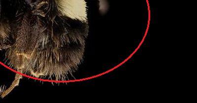 Erste Hummelart ist vom Aussterben bedroht