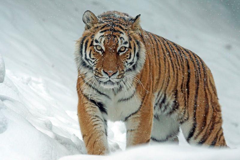 Um den sibirischen Tiger zu retten, macht China etwas ganz Besonderes...