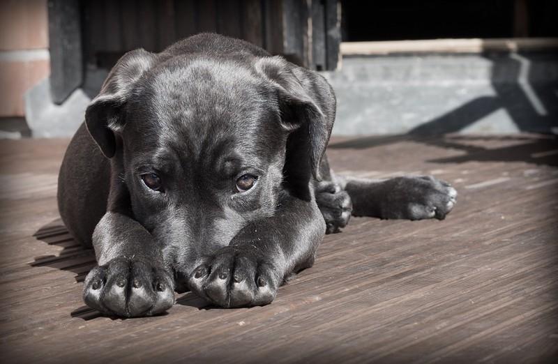 Der Hund liegt und es geht um Kokos-Öl bei Hunden.