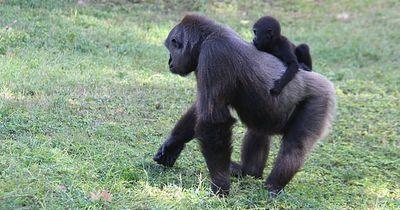 Hier kann man Urlaub mit Gorillas machen