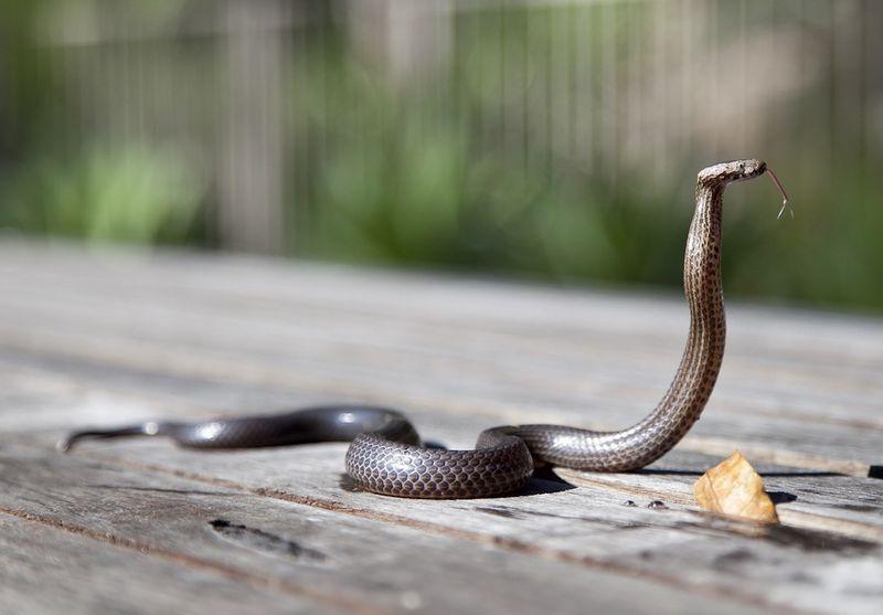 Diese verdurstende Cobra wird gerettet