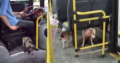 Um zwei Hunde zu retten, bricht dieser Busfahrer die Regeln