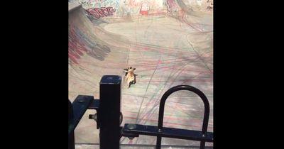 Diese Französische Bulldogge ist ein Meister auf dem Brett