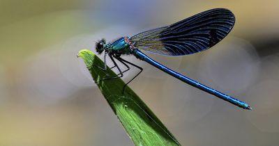 Weibliche Libellen stellen sich tot. Das ist der beeindruckende Grund: