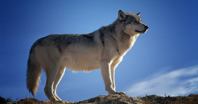 Hier kann man mit Wölfen wandern