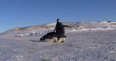 Pinguine: Diese hinreißenden und tollpatschigen Lebewesen