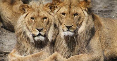 So reagieren die Löwen auf ihre Rettung