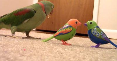 Papagai rastet völlig aus, als er auf Spielzeug-Vögel trifft