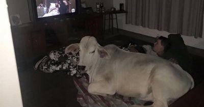 Diese Kuh bricht einfach ins Haus ein