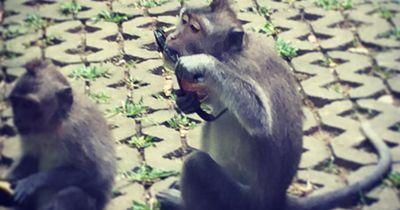 Diese Affen haben rausgekriegt, wie sie Touristen erpressen können...