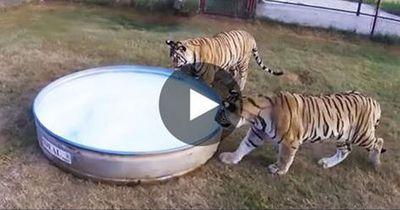 Tiger-Alarm! Und wie süß sie einfach sind