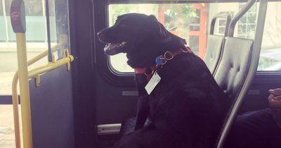 Dieser Hund fährt jeden Tag alleine Bus