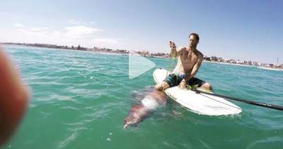 Sieh wie ein riesiger Tintenfisch auf das Paddle Board eines Schwimmers klettern will
