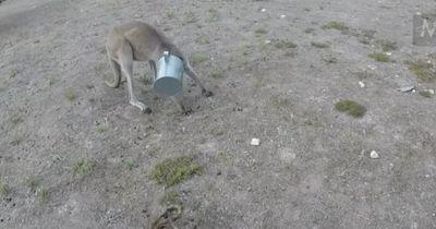 Der Kopf des Kängurus steckt in einer Gießkanne fest...
