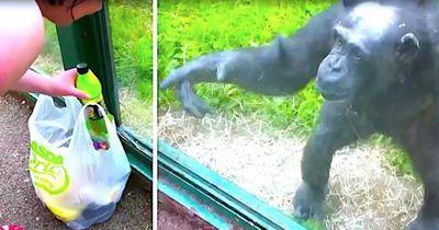 Ein Schimpanse zeigt, wie außerordentlich intelligent er ist